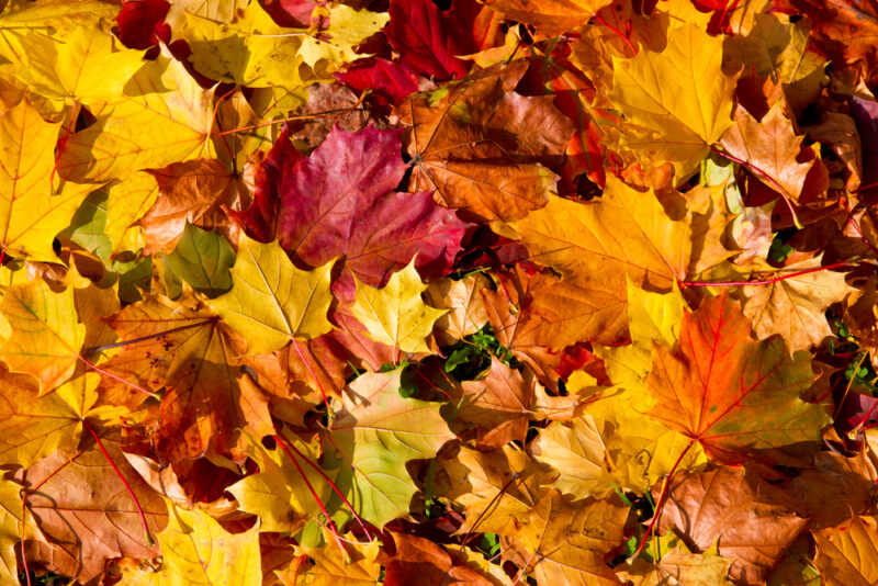 close up of red Autumn tree leaves