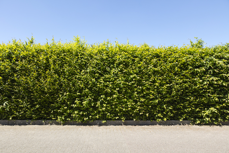 row of green beech hedges