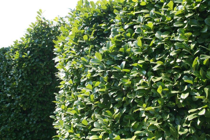 Laurel hedging benefits