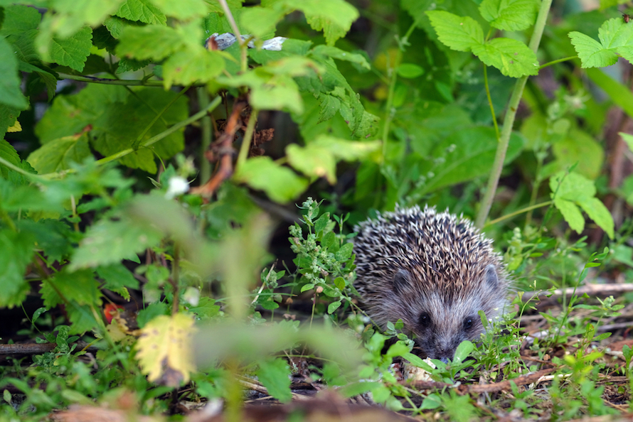 hedgehogs in garden
