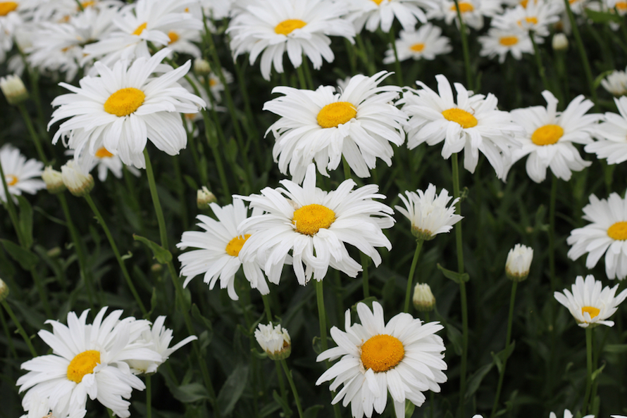 patch of daisies