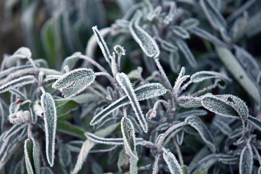 plant leaves with frost