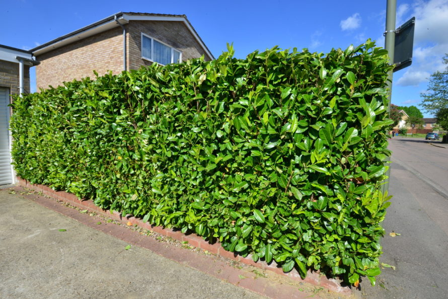 laurel hedge