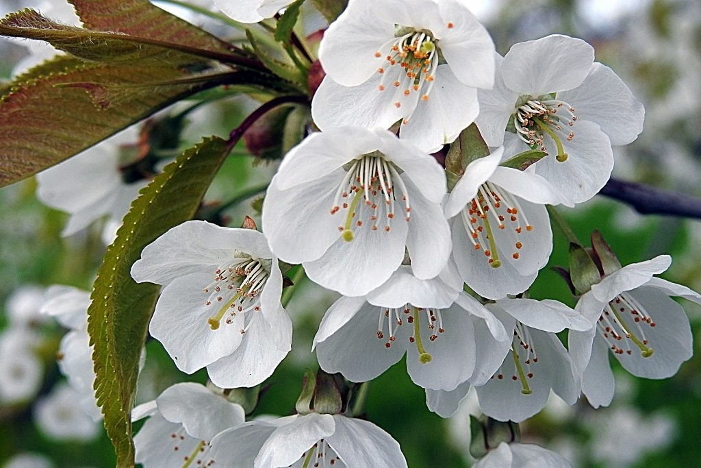 white flowering cherry tree