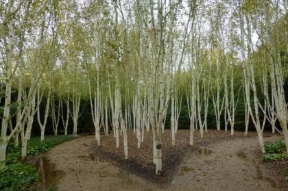 himalayn birch trees