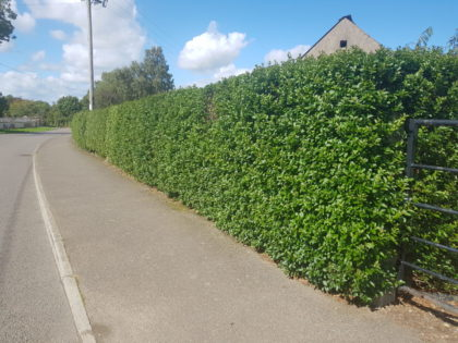 green privet hedges