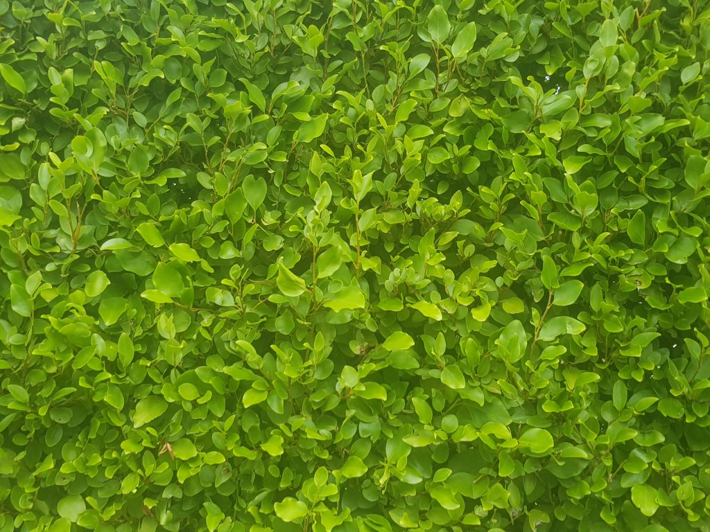 closeup of griselenia hedging