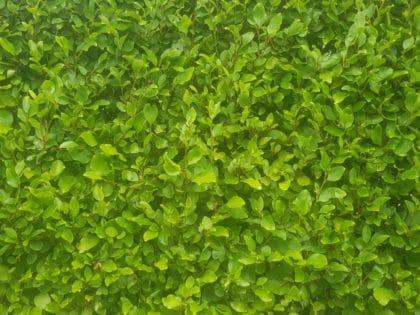closeup of griselenia hedging