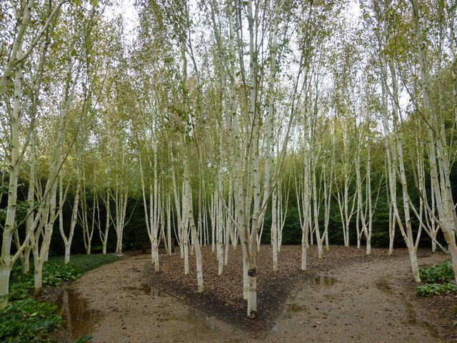 himalayan birch ireland