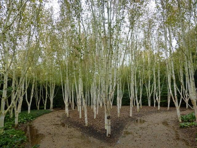himalayan birch ireland