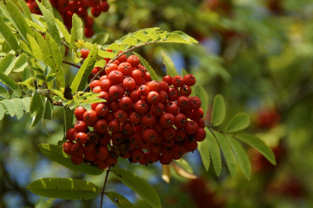 close up of red mountain ash berries