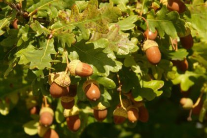 oak tree acorns