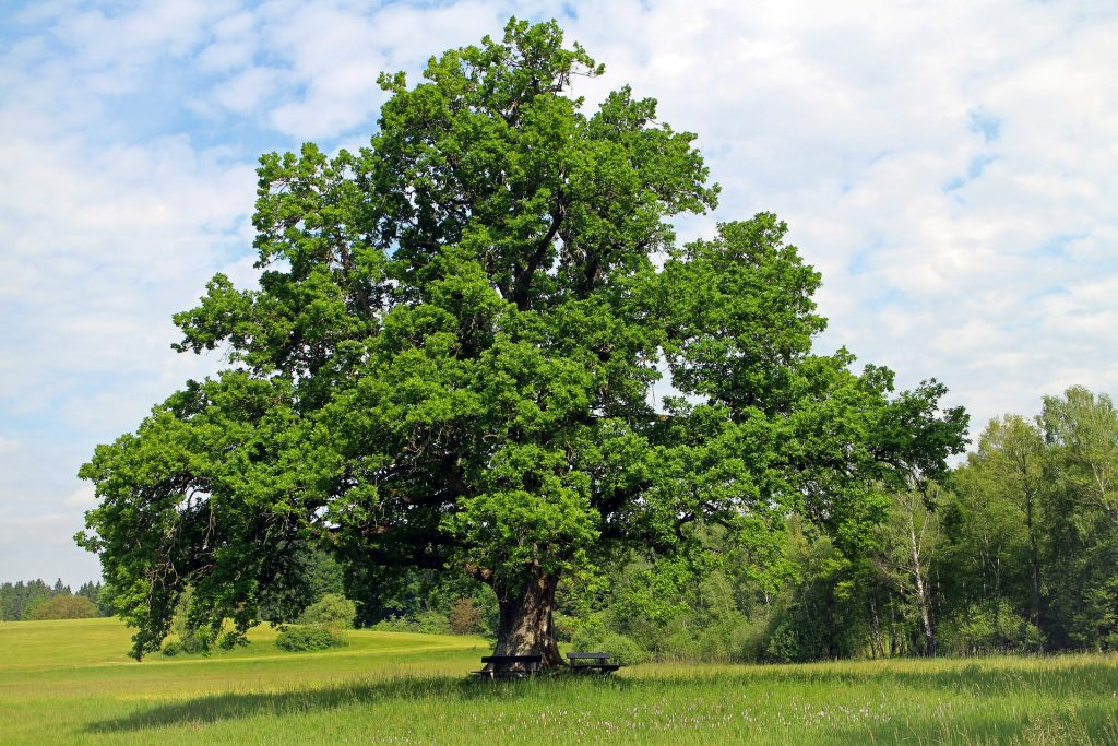 oak tree in a field