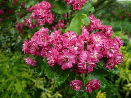 pauls scarlet tree pink flowers
