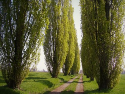 rows of green poplar trees