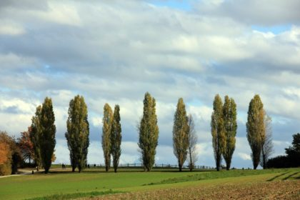 row of poplar trees on farm land