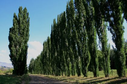 row of tall poplar trees