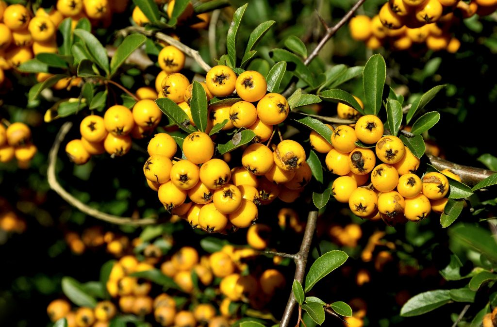 yellow mountain ash berries