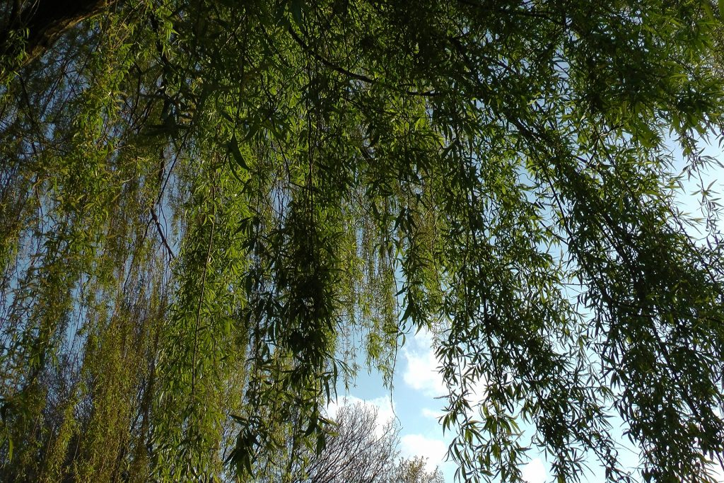 leaves of a weeping willow tree