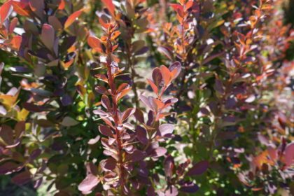 close up of berberis red leaves