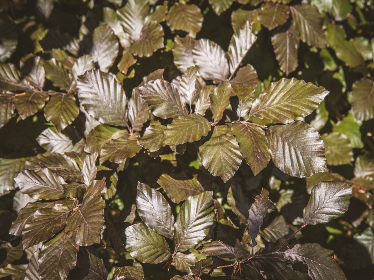 close up of copper beach hedge leaves