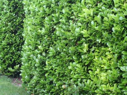 green laurel hedge