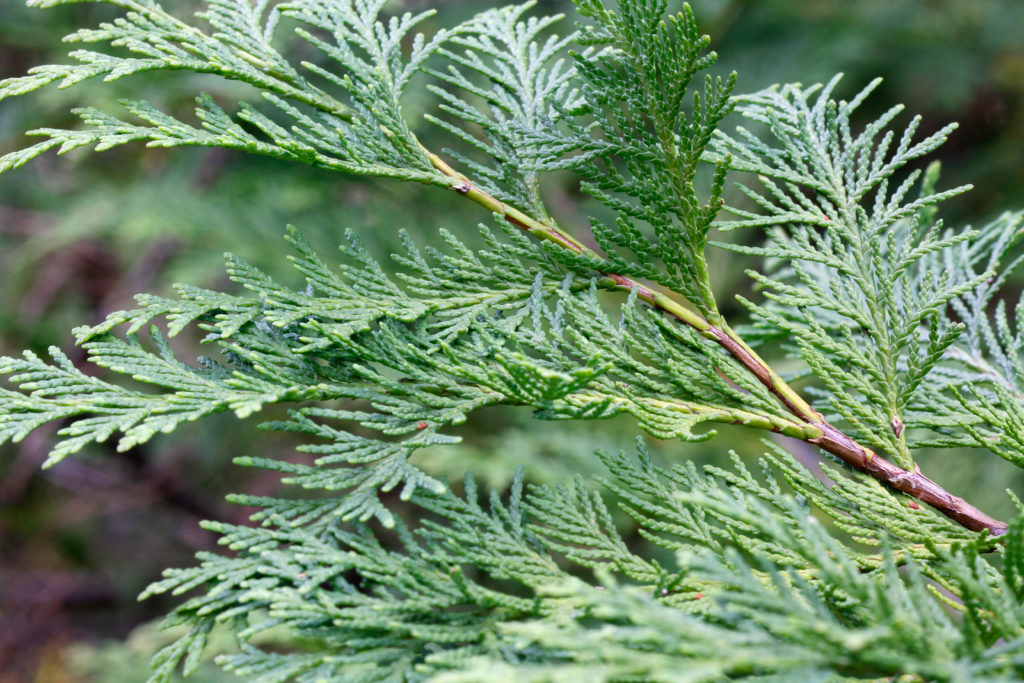 Close up of Lawson Cypress leaves
