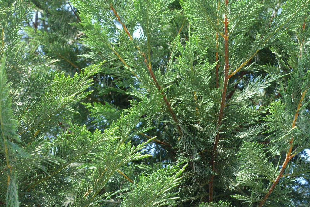Close up of Lawson Cypress branches