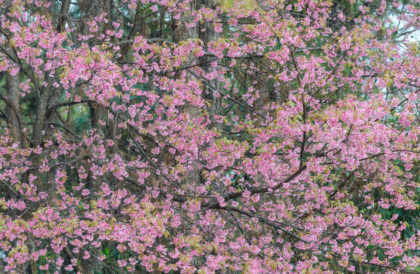 flowers on a pink cherry tree