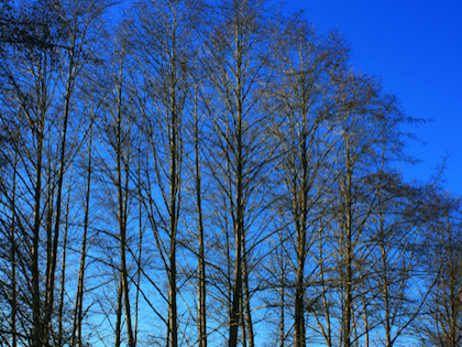 Tall Alder trees against blue sky
