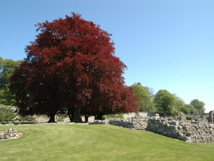 copper beech tree in Summer