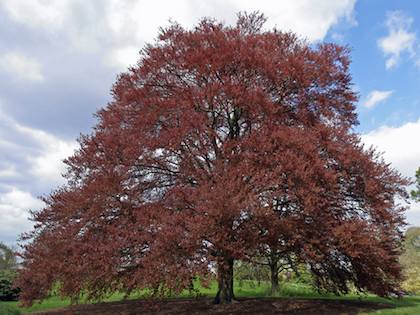 Tall Copper Beech tree