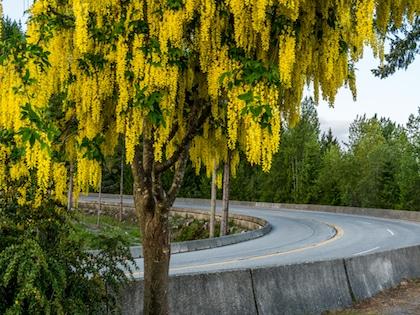 Laburnum Tree beside a road