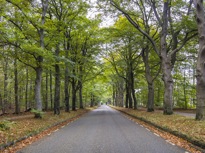 road of lime trees