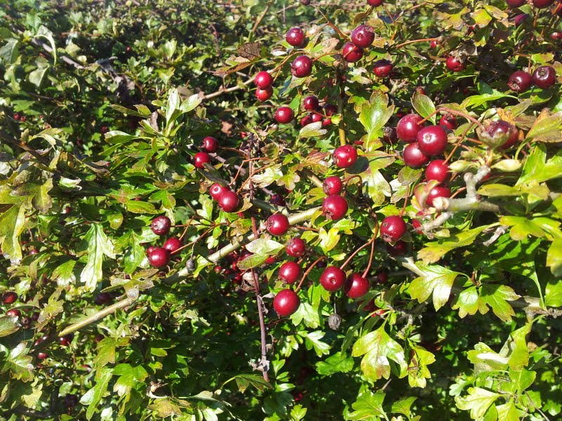 red whitethorn berries