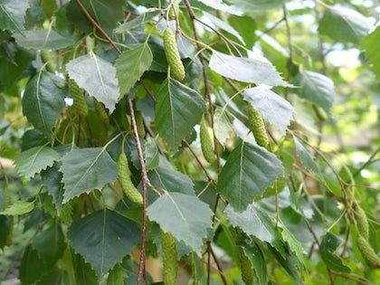 close up of weeping birch tree leaves