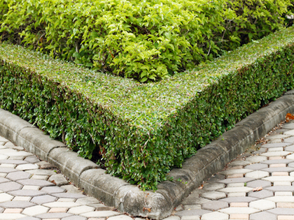 row of box hedges