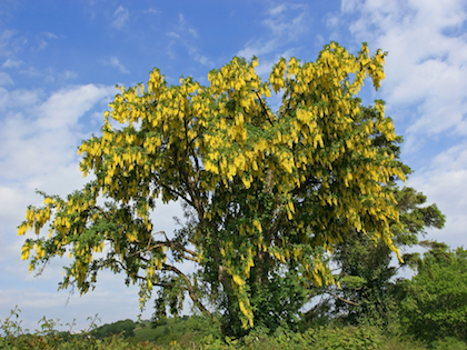bright Laburnum trees