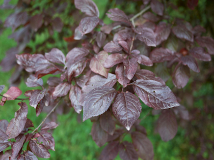 purple leafed plum tree