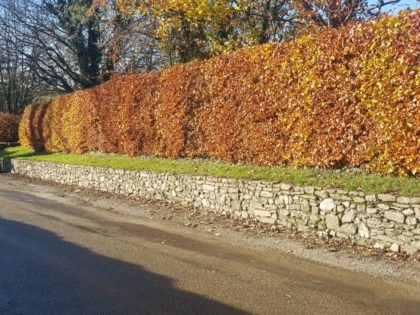 row of copper beech hedges