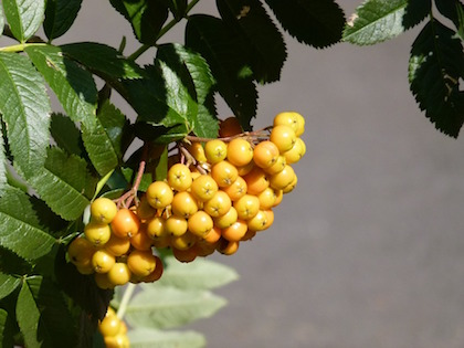 yellow berry mountain ash
