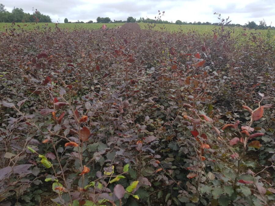 Copper Beech Hedges