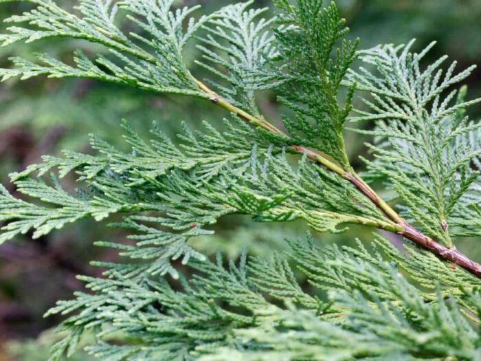 Lawson Cypress Hedges