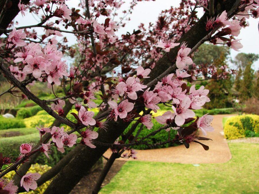 Purple Leafed Plum Tree