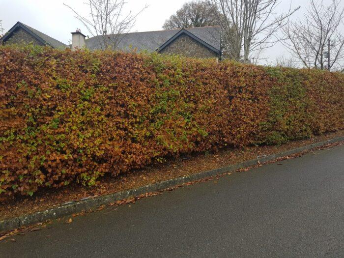 beech hedging