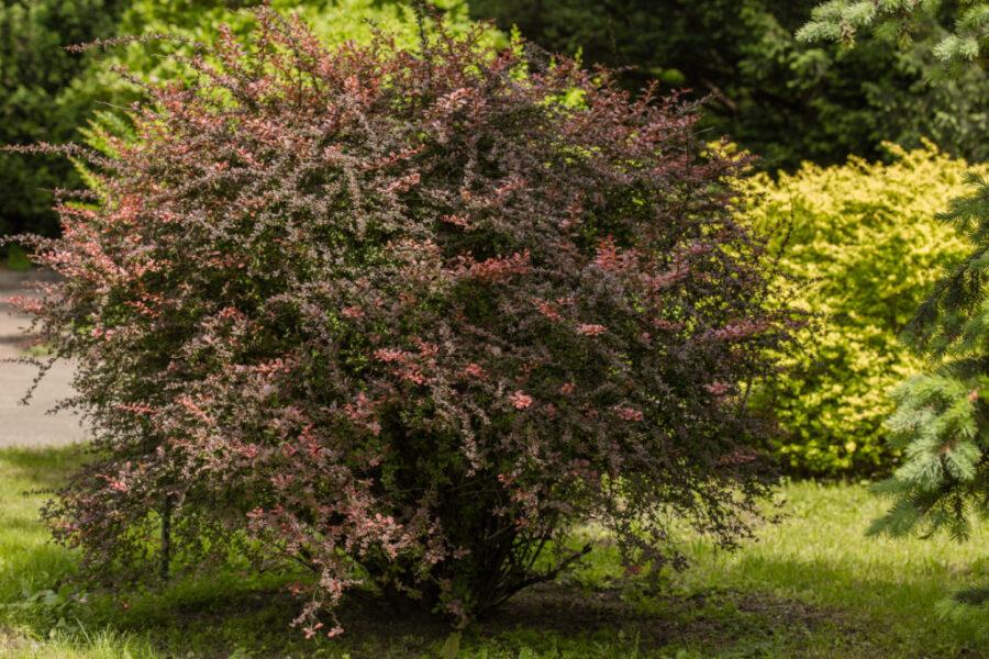 Berberis Hedges (Berberis Atropurpurea)
