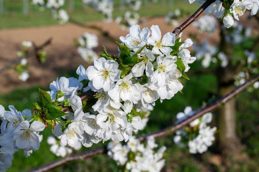 White Flowering Cherry Tree