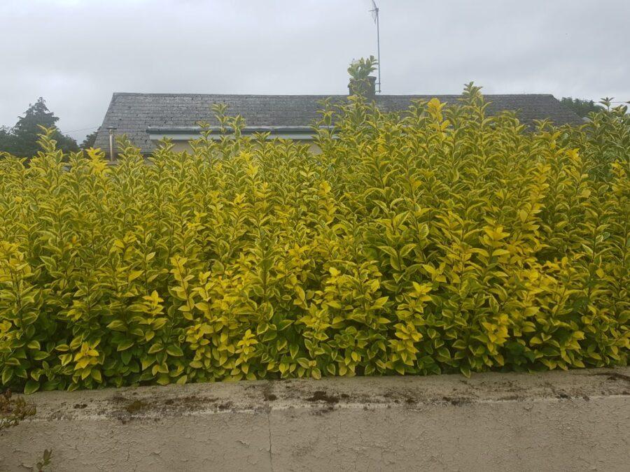 Golden Privet Hedges