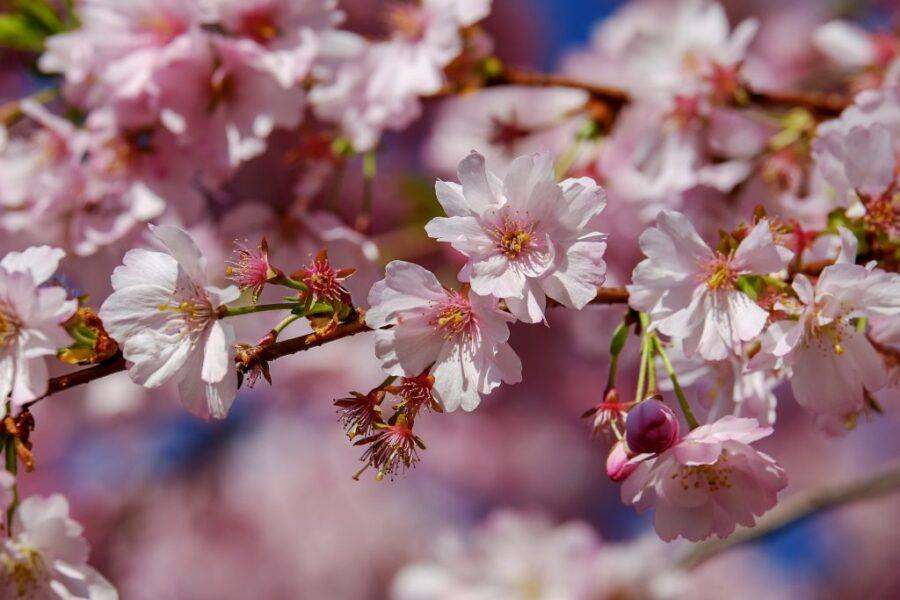 Pink Flowering Cherry Tree
