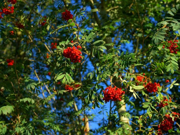 Mountain Ash - Red Berry Tree